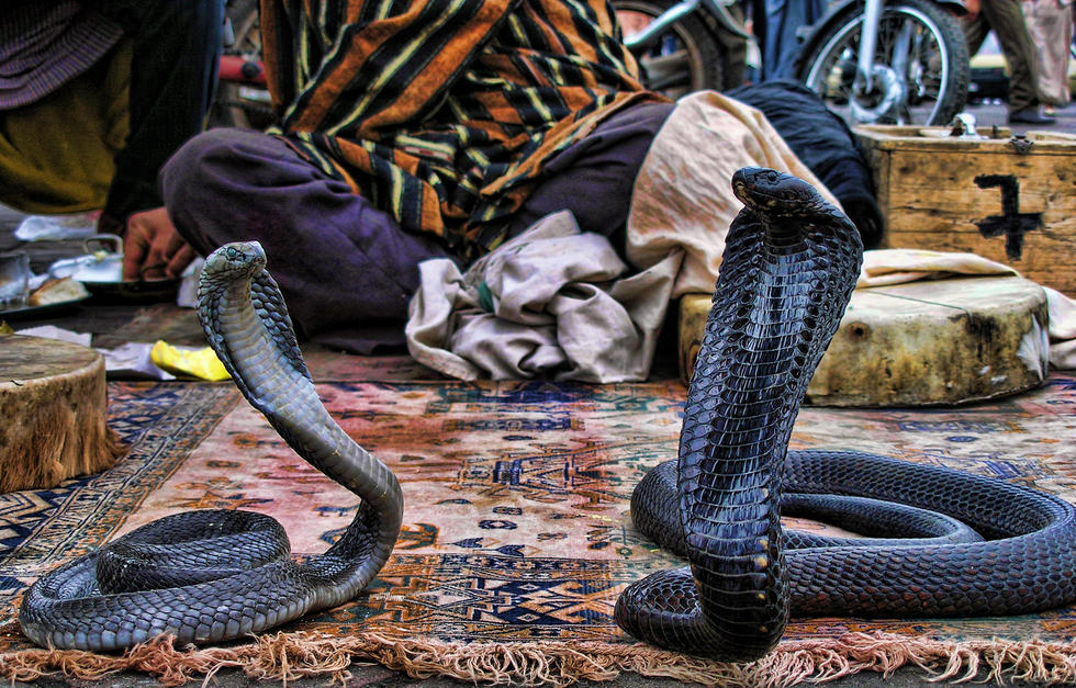 Slika kobri na trgu Džema el Fna