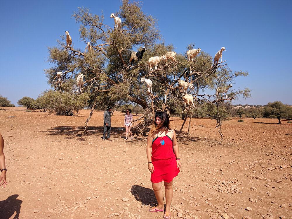 Slika drveta argana i koze koje se nalaze na njemu
